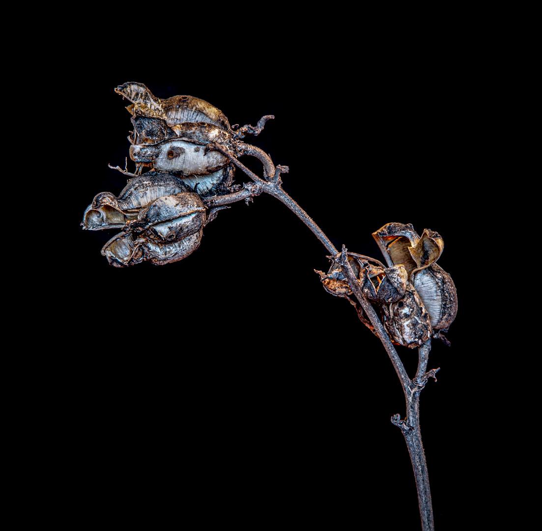 Spent Yucca Plant Pods