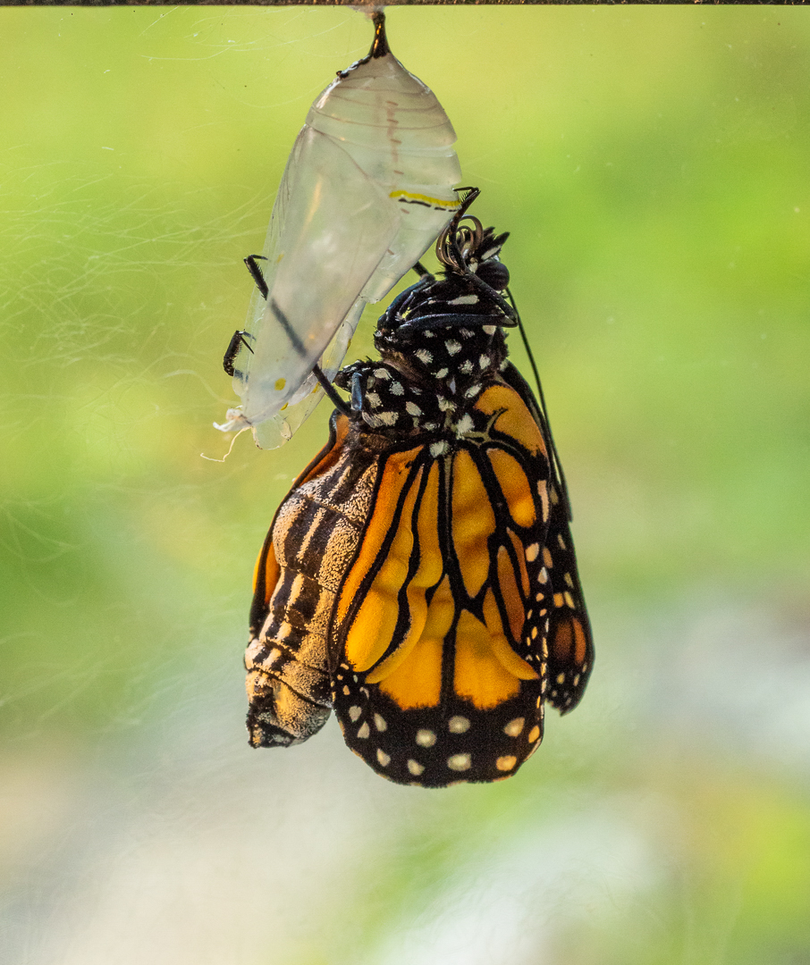 Monarch newly emerged from Crysalis