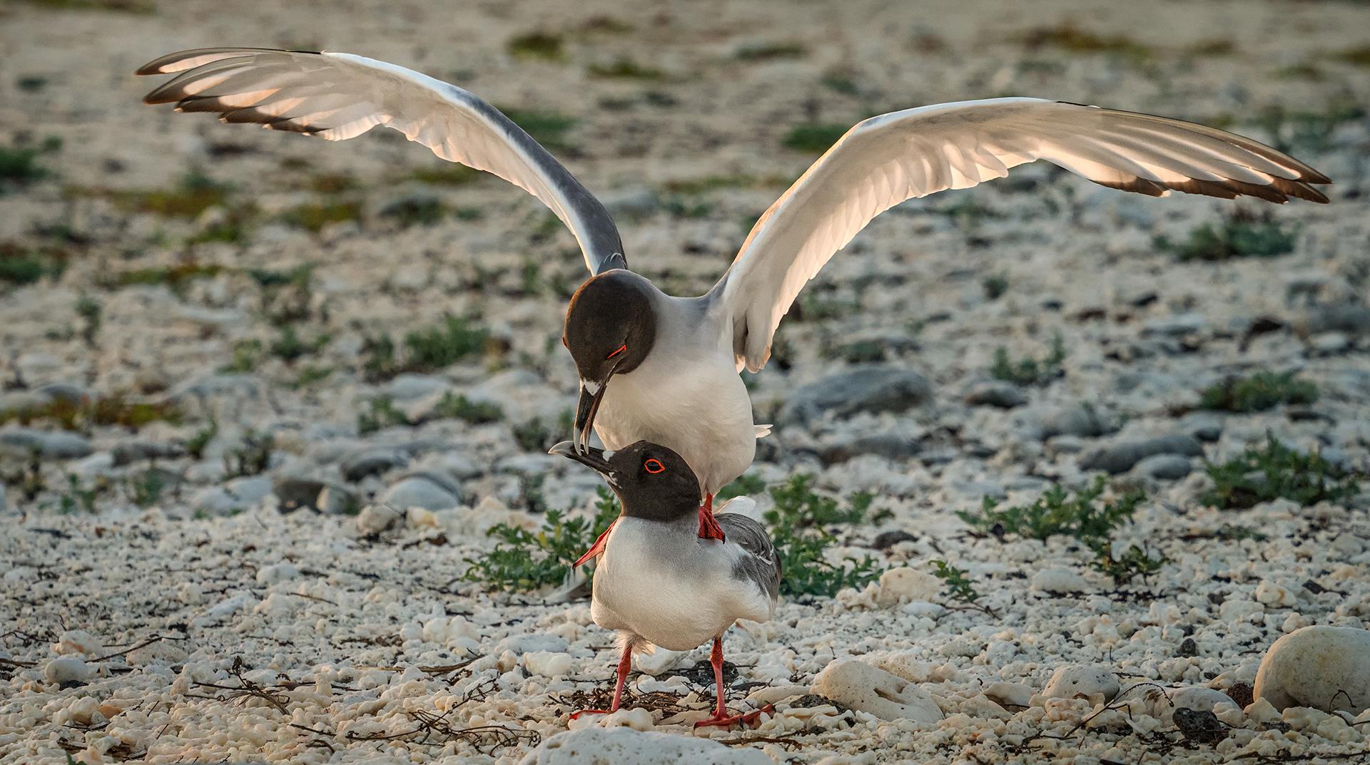 Courtship of Galapagos Gulls