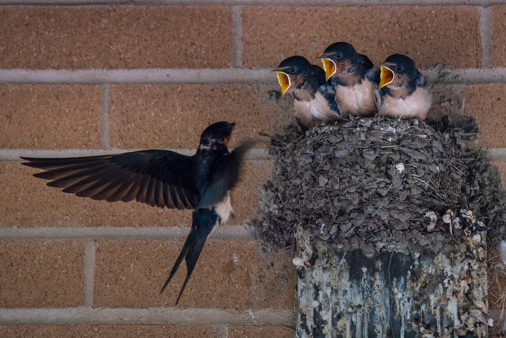 Hungry Baby Swallows