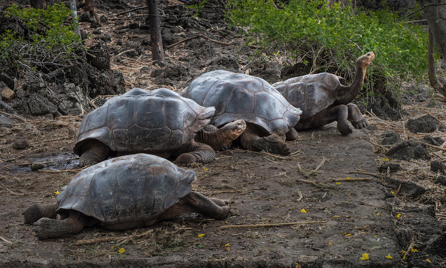 Galapagos Sattleback Tortoises