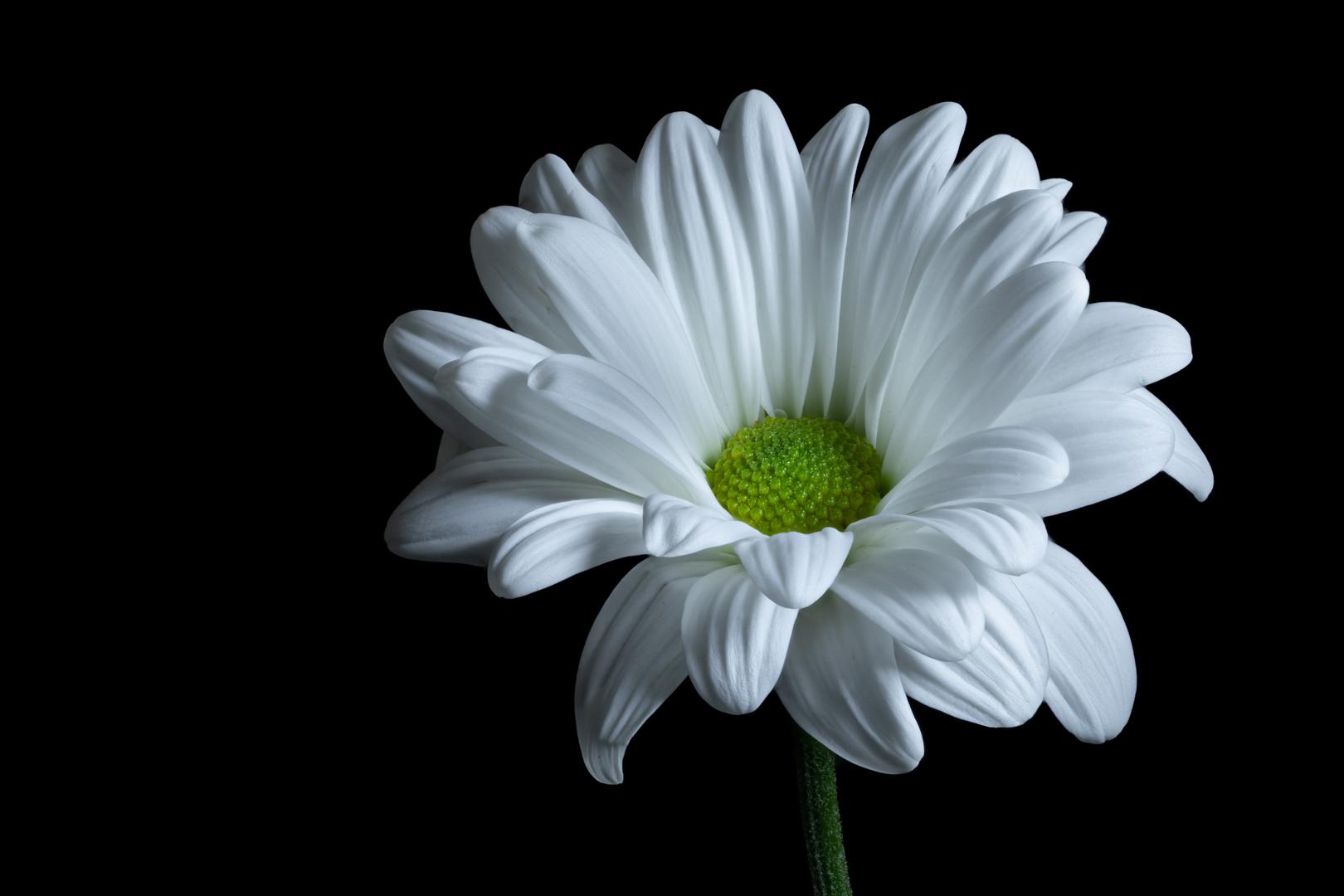 Green Eyed Daisy