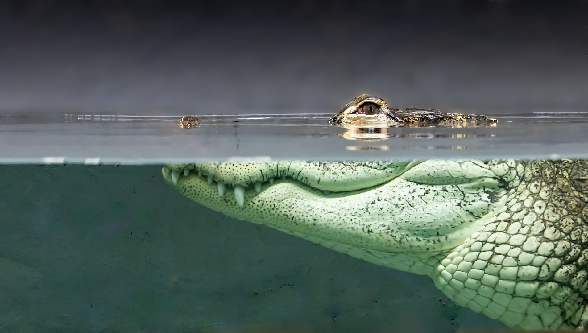 Alligator - what lurks below the surface