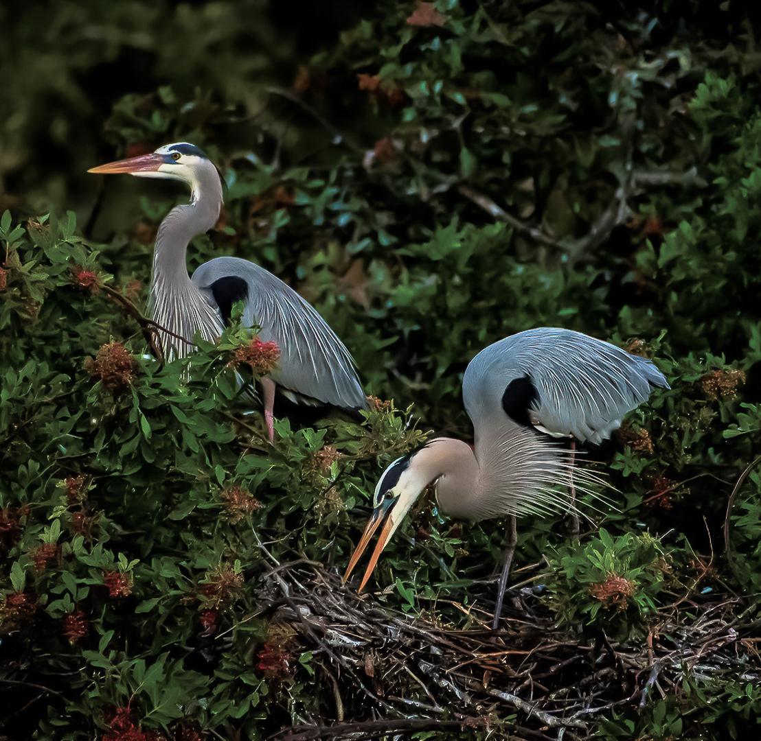 Pair of Great Blue Herons Building Their Nest