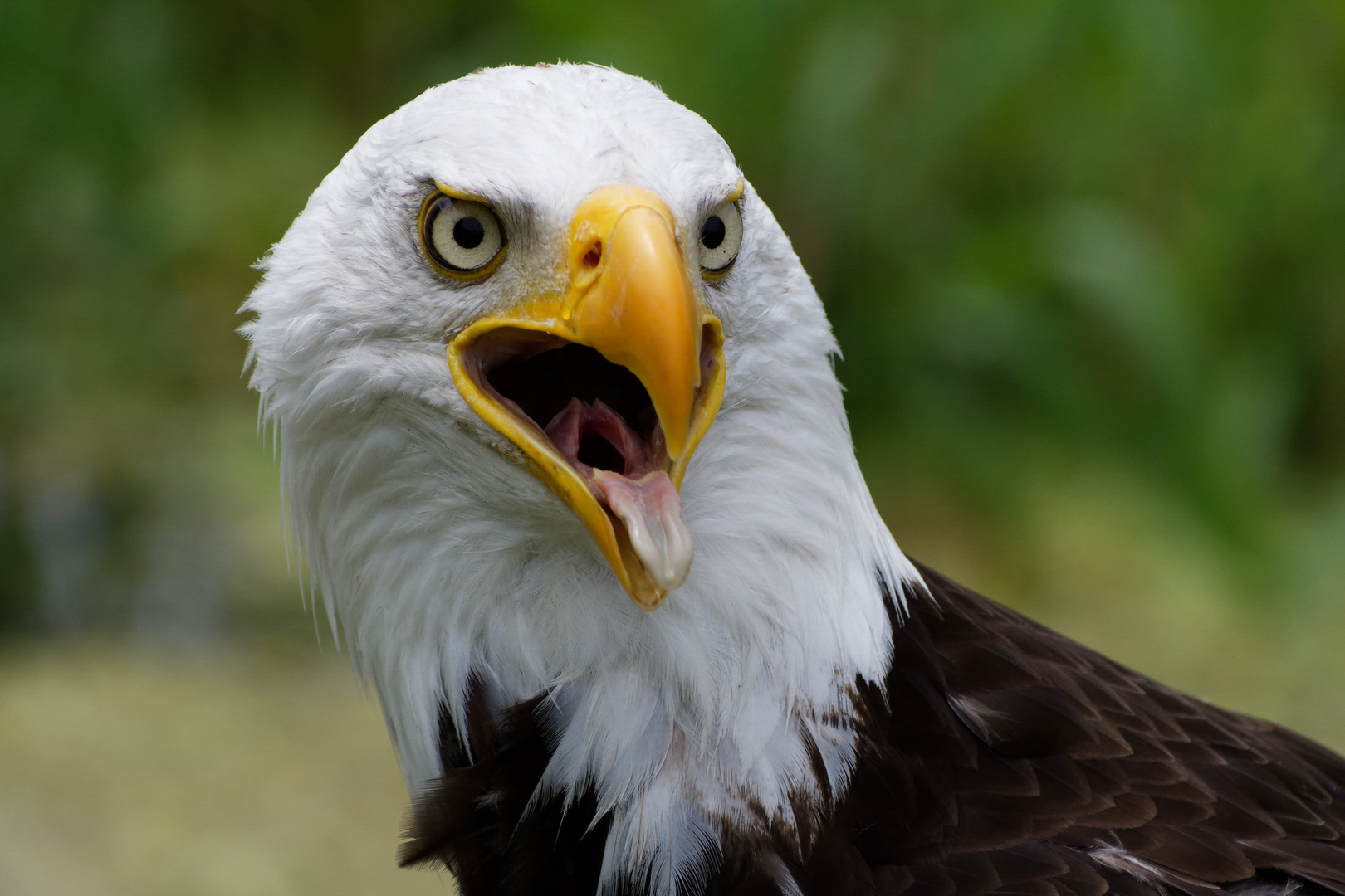Bruce the bald eagle
