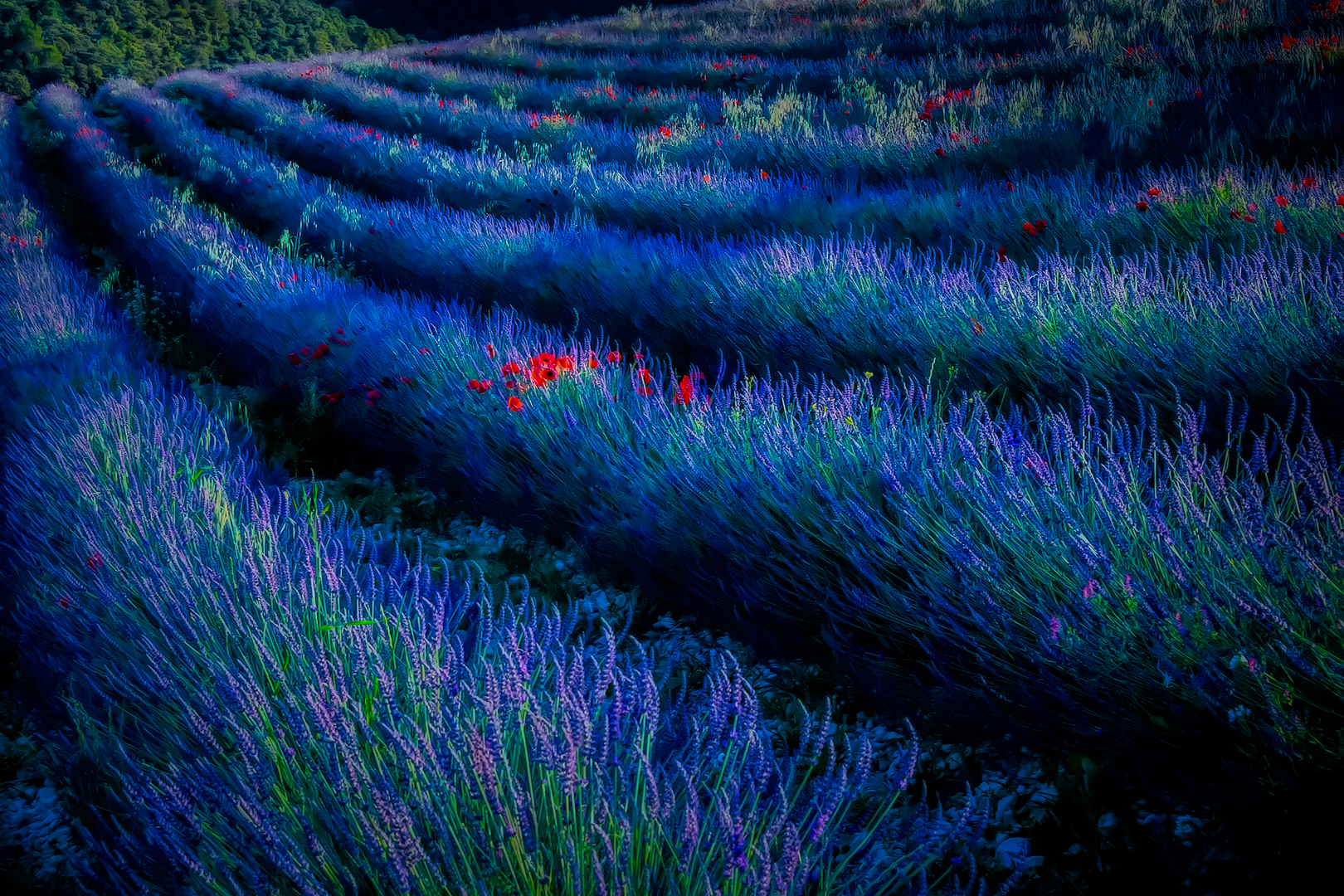Early Morning In Lavender Field
