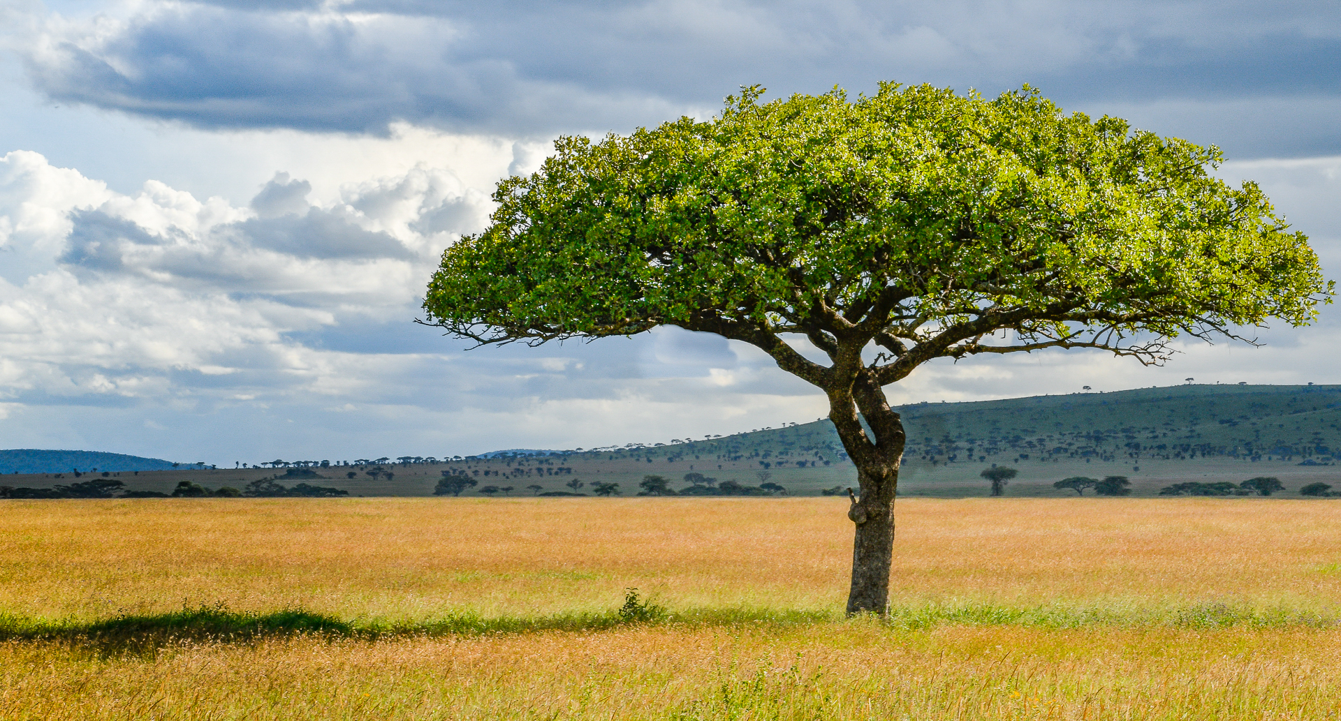 Acacia Tree in Serengeti