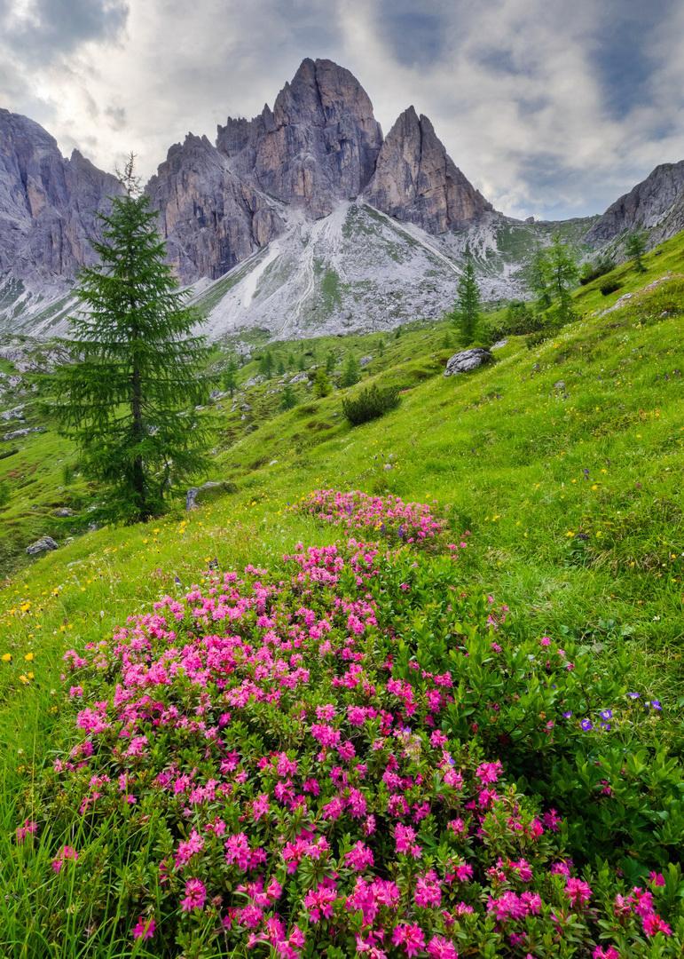 Following alpenroses way, Dolomites