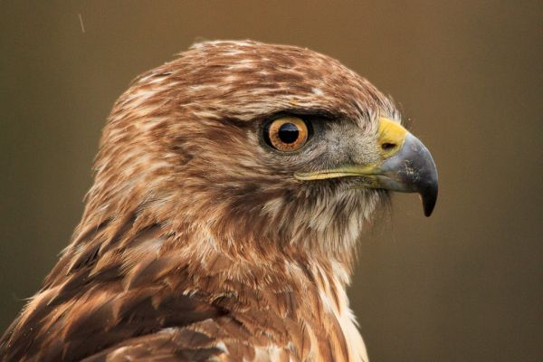 Northern Red Tailed Hawk