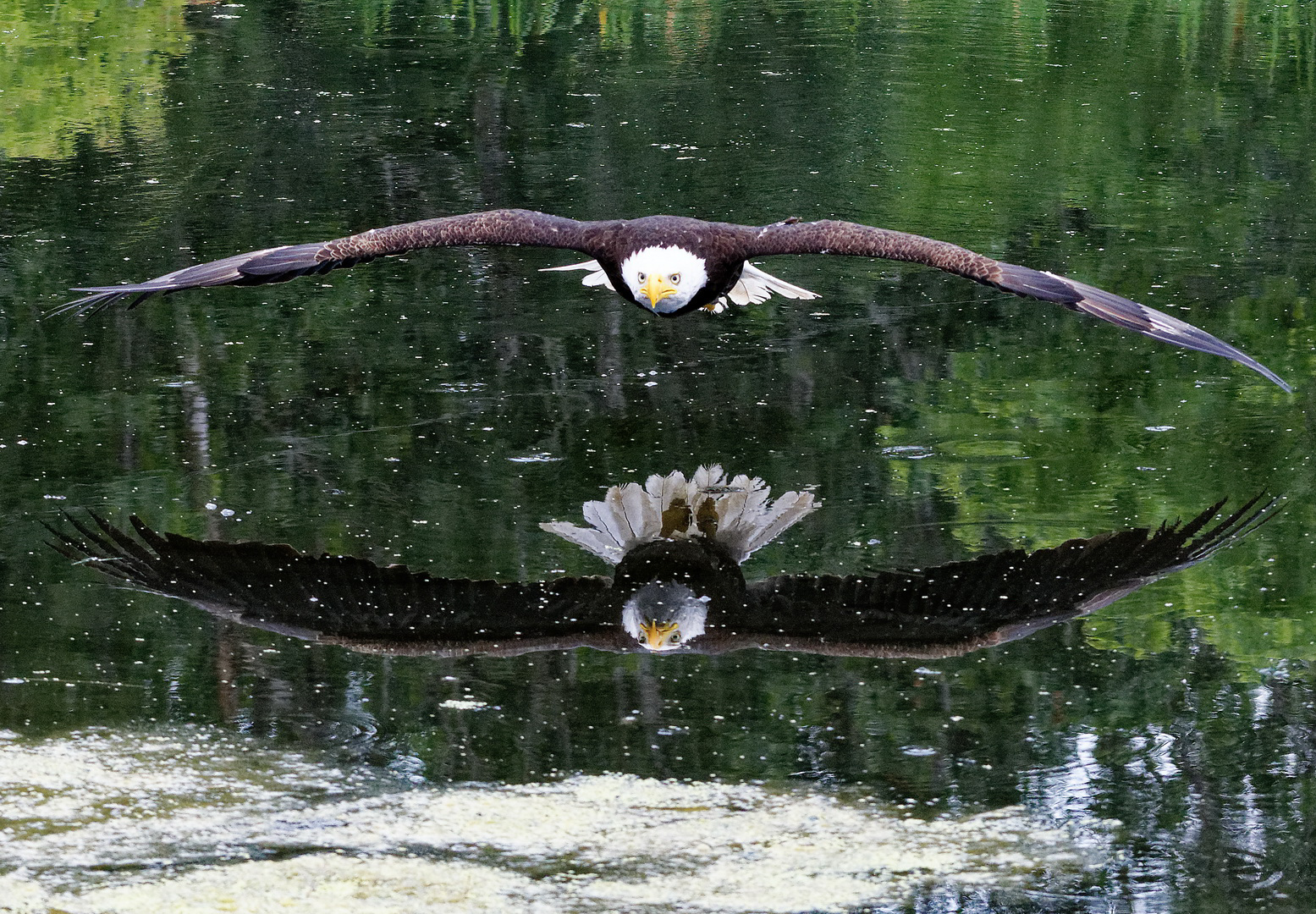 Reflection of a bald eagle in flight