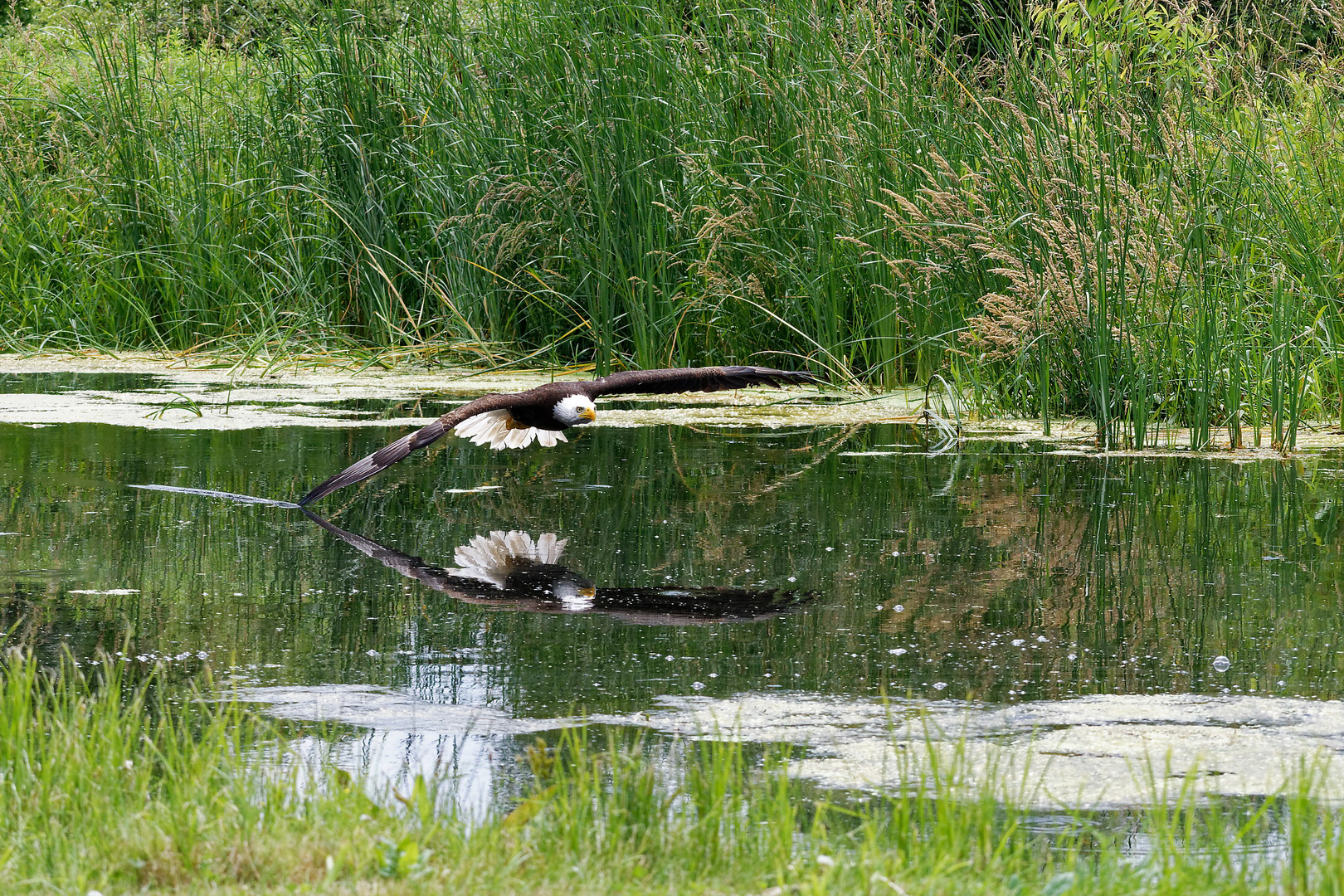 Wing salute by a bald eagle