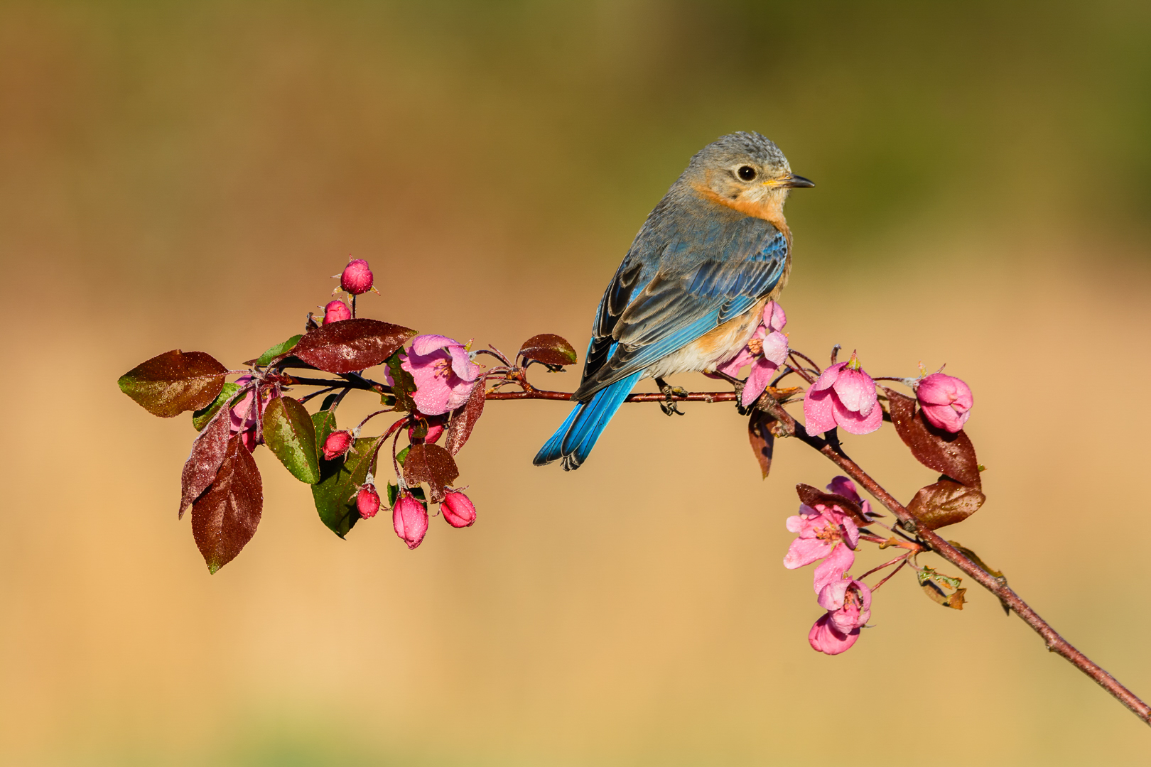 Eastern Bluebird Female, Sitting Pretty