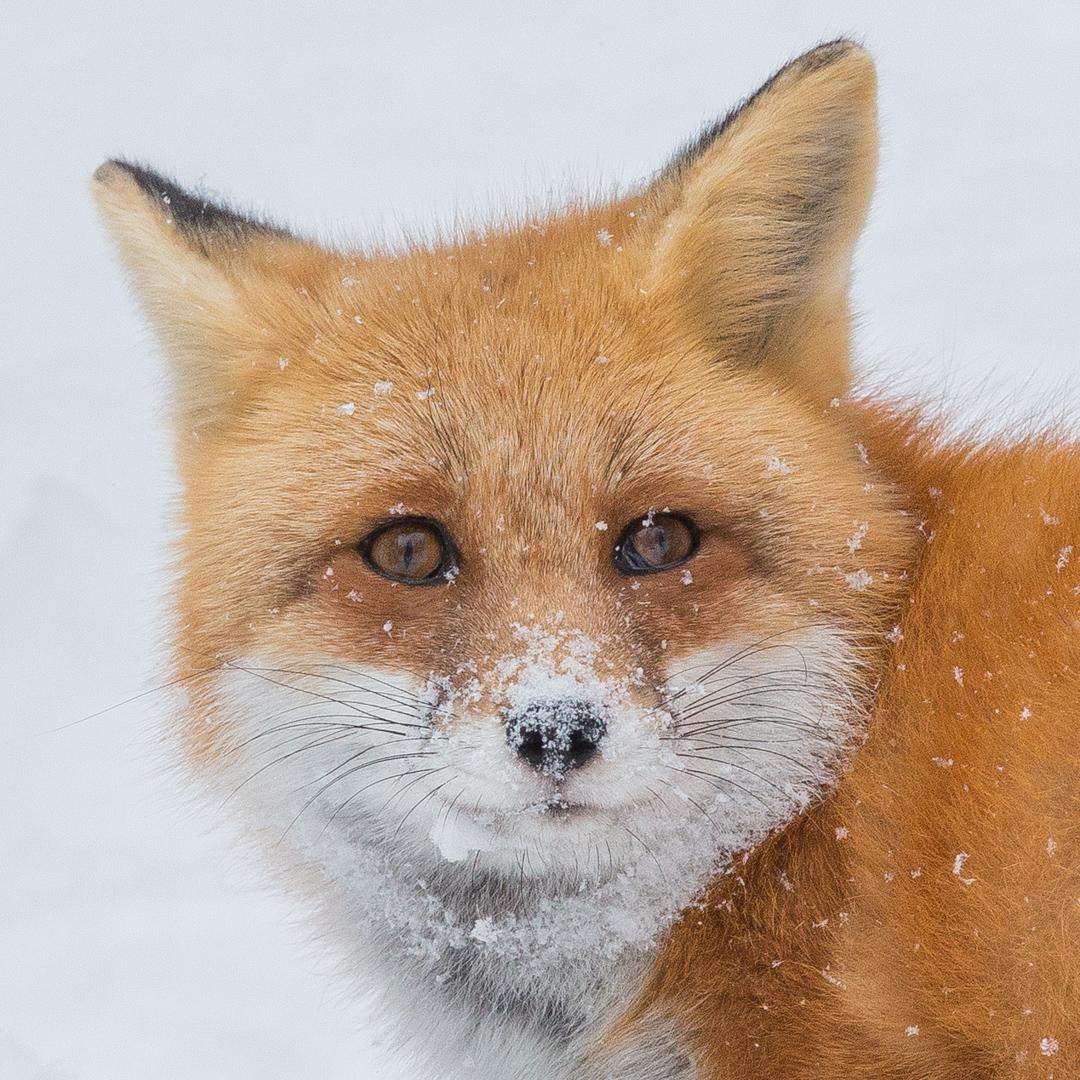 Red Fox