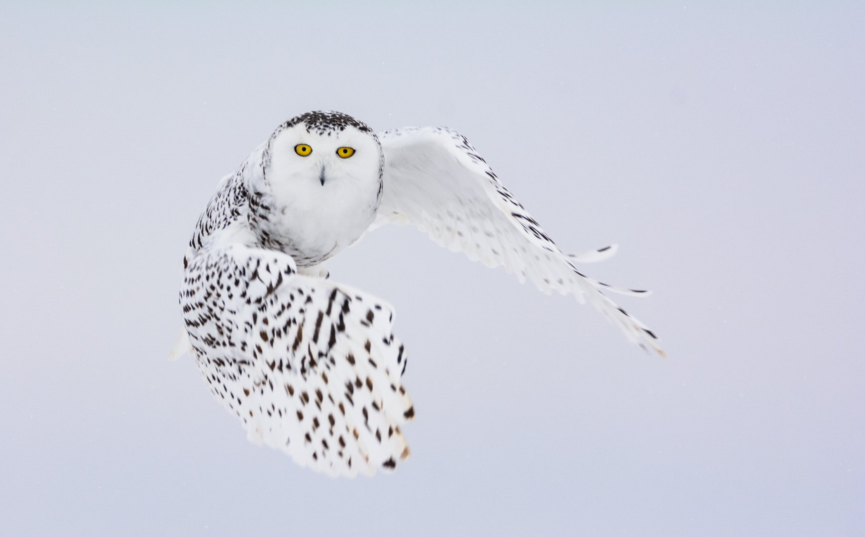 Snowy Owl Female in Flight
