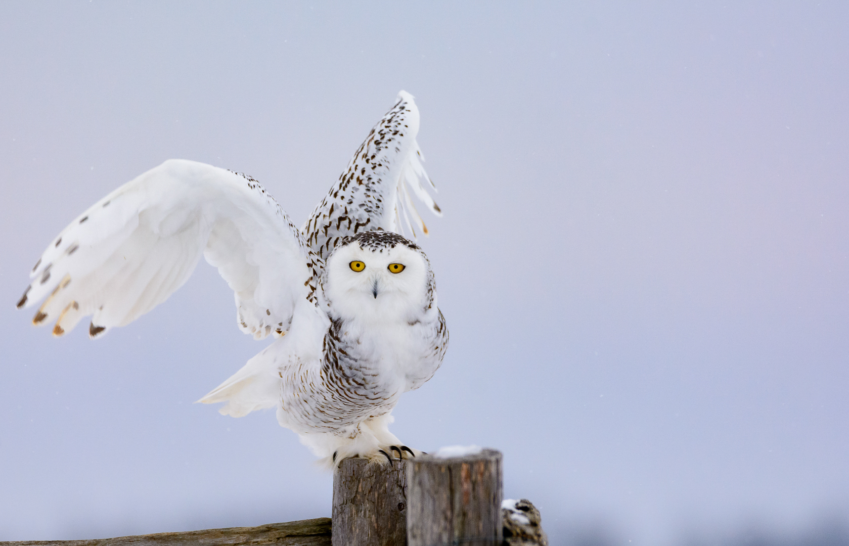 Snowy Owl - Ready for Flight