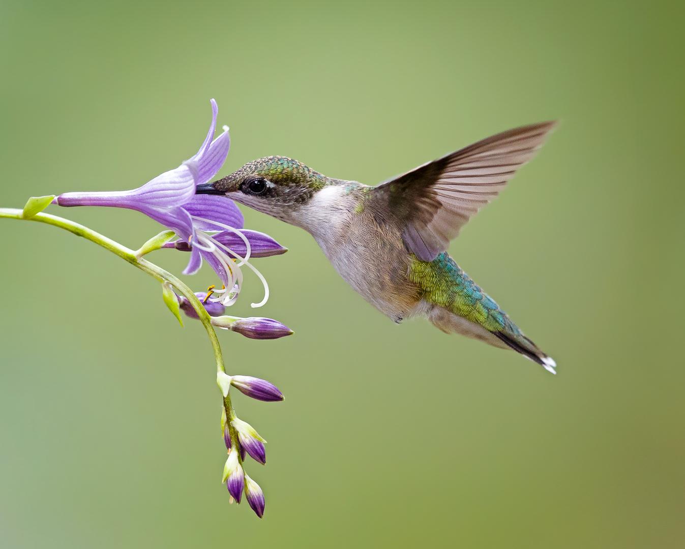 Hummingbird and bell flower