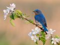 Bluebird in blooms