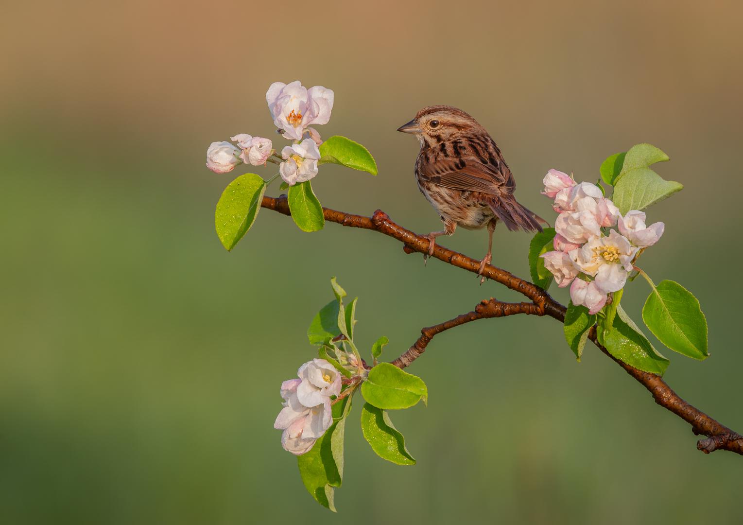 Sparrow on Apple Blossom