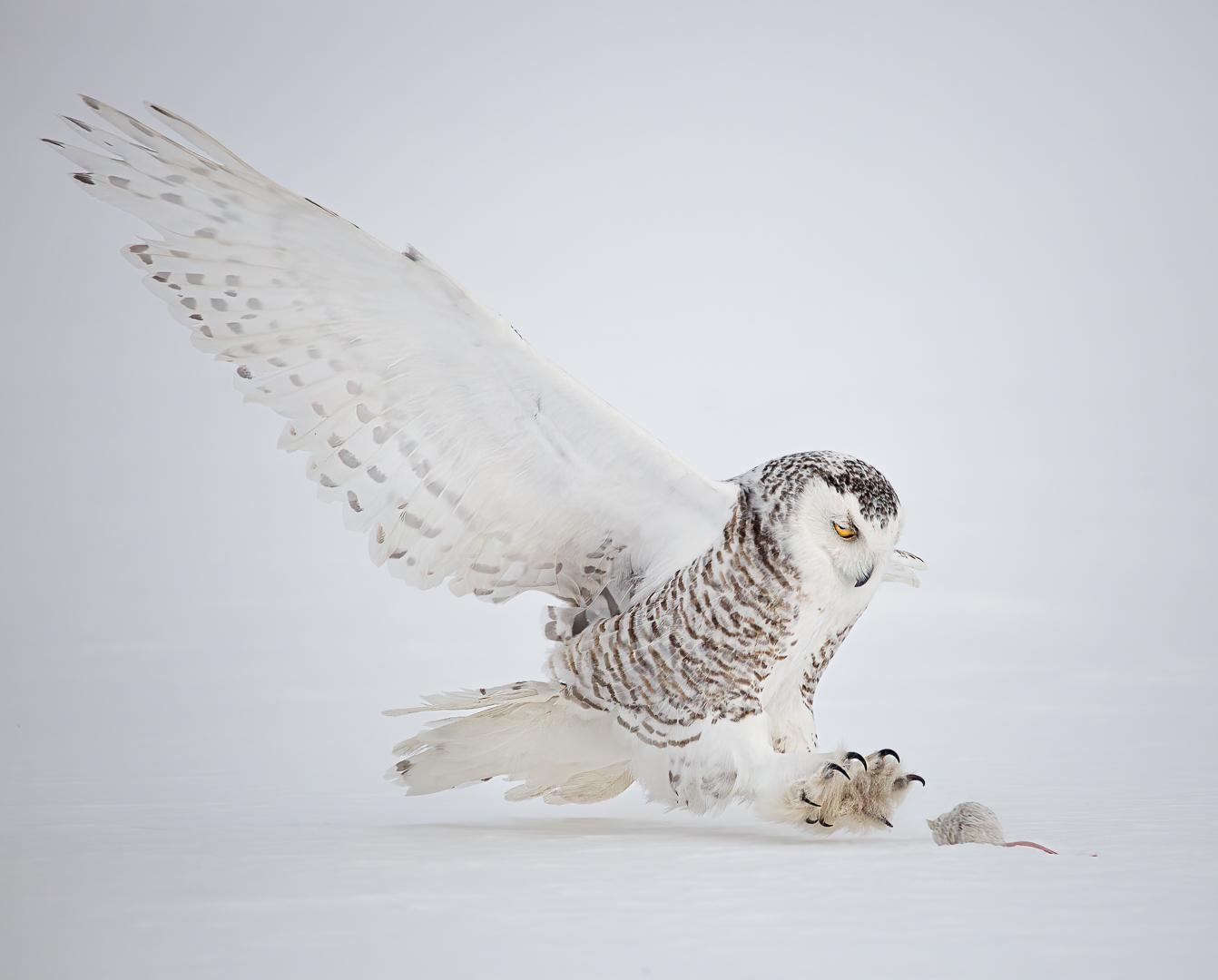 Snowy Owl Attack