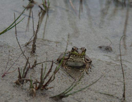Frog at Singing Sands